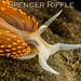 Hermissenda crassicornis by Spencer Dybdahl Riffle