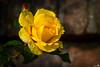 October Autumn Rose