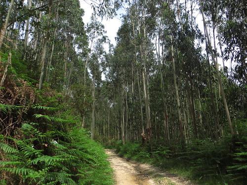 20160527 09 334 Jakobus EukalyptusWald Weg steil