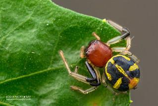Crab spider (Camaricus sp.) - DSC_4000
