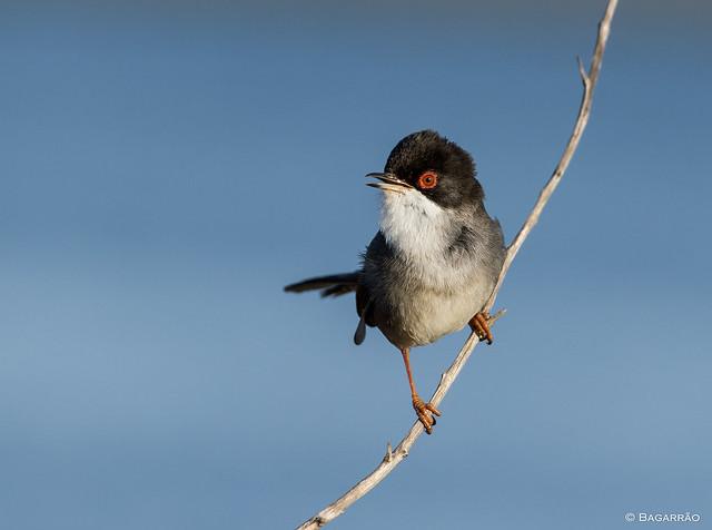 Toutinegra-de-cabeça-preta | Sardinian Warbler | Curruca cabecinegra (Sylvia melanocephala)