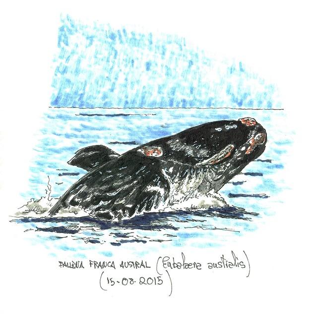 Ballena franca austral (Eubalaena australis)