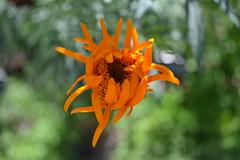 Aztec Marigold