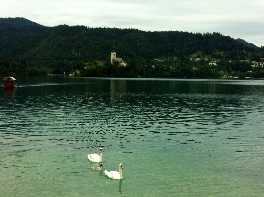Bled Lake Swans and a baby