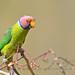 Plum-headed Parakeet ( Male) by Anuj Nair