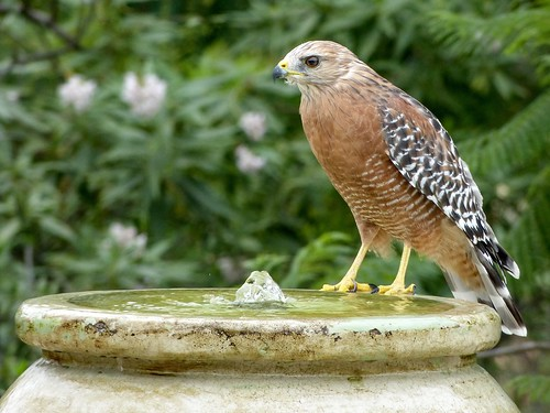 Red-shouldered hawk at the bubbler