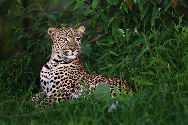 Resting Leopardess