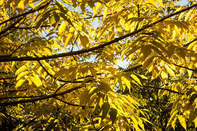 backlit fall leaves