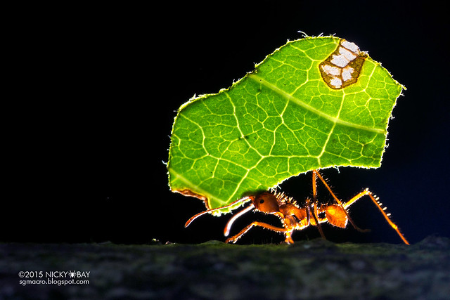 Leaf-cutter ant (Atta sp.) - DSC_9122