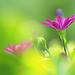 Purple Daisy by lfeng1014