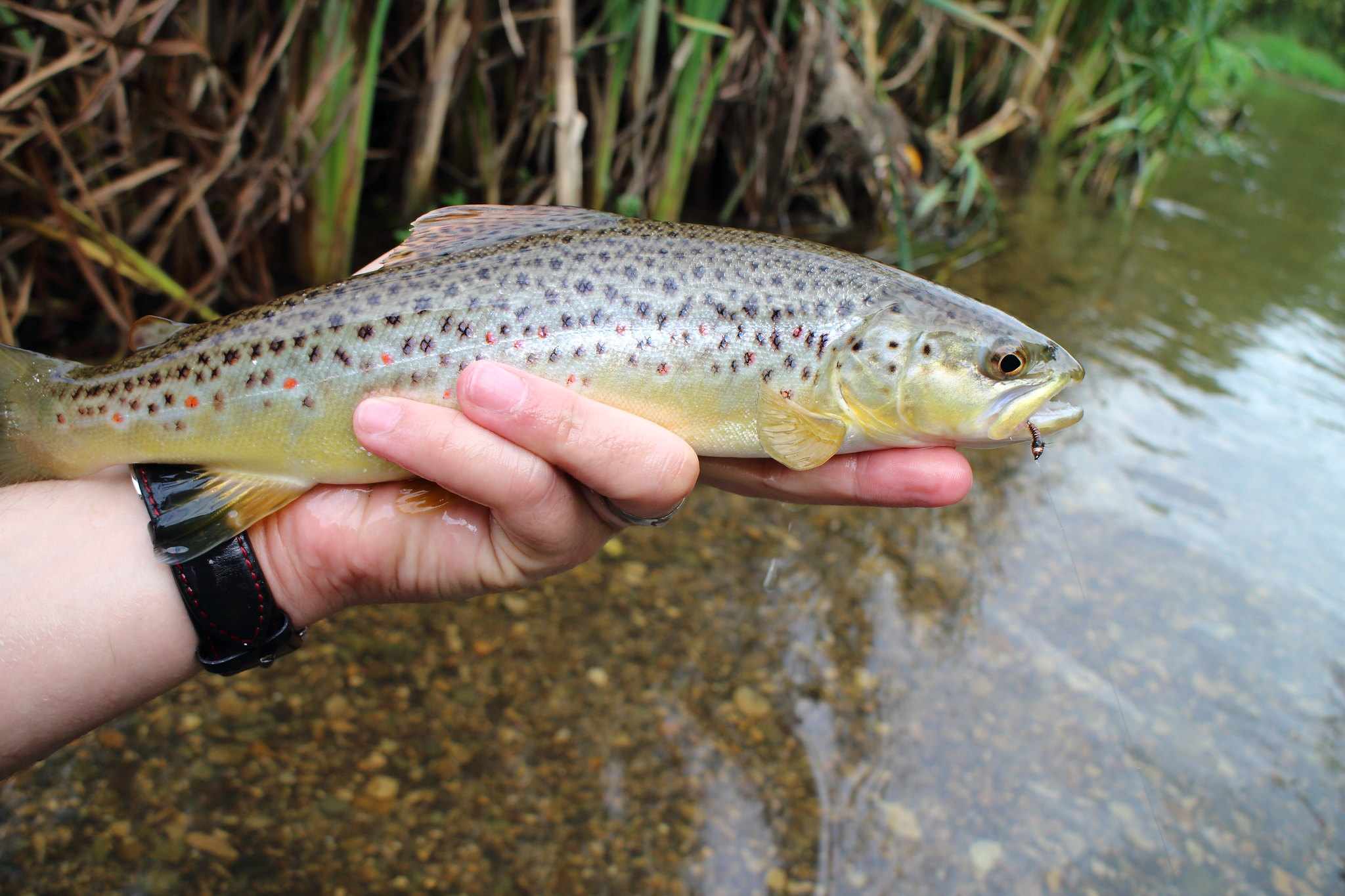 Coarse Fishery Brown