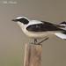 Eastern Black-eared Wheatear by Mike Barth - Bird Guide UAE