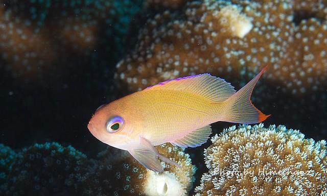 ケラマハナダイ幼魚!