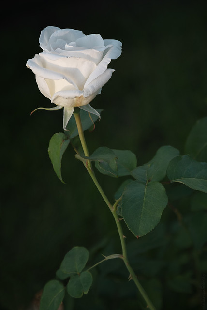 RUS49047(Little White Rose)