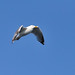 Small photo of American herring gull (Larus smithsonianus)