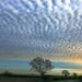 Ash tree...under a mackerel sky by tina negus