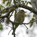 Greater Pewee - 2
