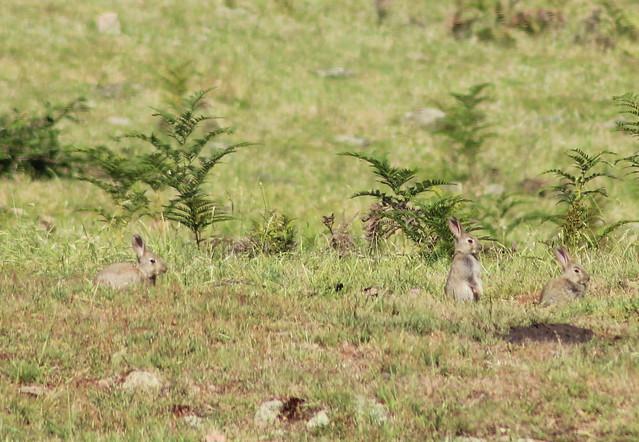 meerkat bunny