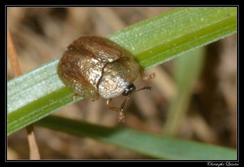 Cassida flaveola