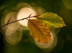 HolderBack-lit Beech Leaves