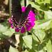 Mimoides thymbraeus aconophos (White-crescent Swallowtail) por K. Zyskowski and Y. Bereshpolova