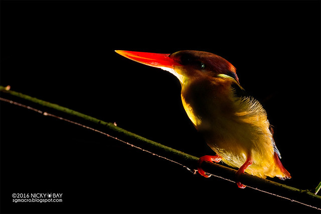 Oriental dwarf kingfisher (Ceyx erithaca) - DSC_3243