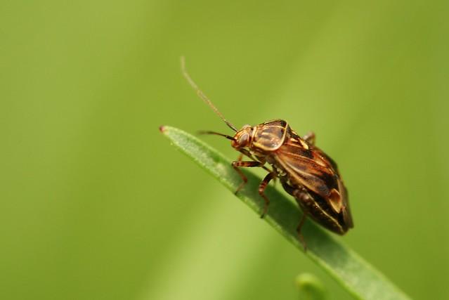 Tarnished Plant Bugs