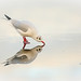 Black-headed Gull reflecting  by forbesimages