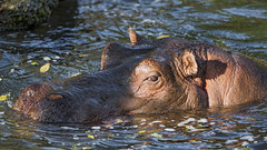 Male hippo in the water