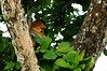 Proboscis Monkey - Bako National Park, Borneo