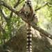Ring-tailed Lemurs (Ed Drewitt)