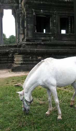 A white horse grazing at Angkor Wat in Cambodia