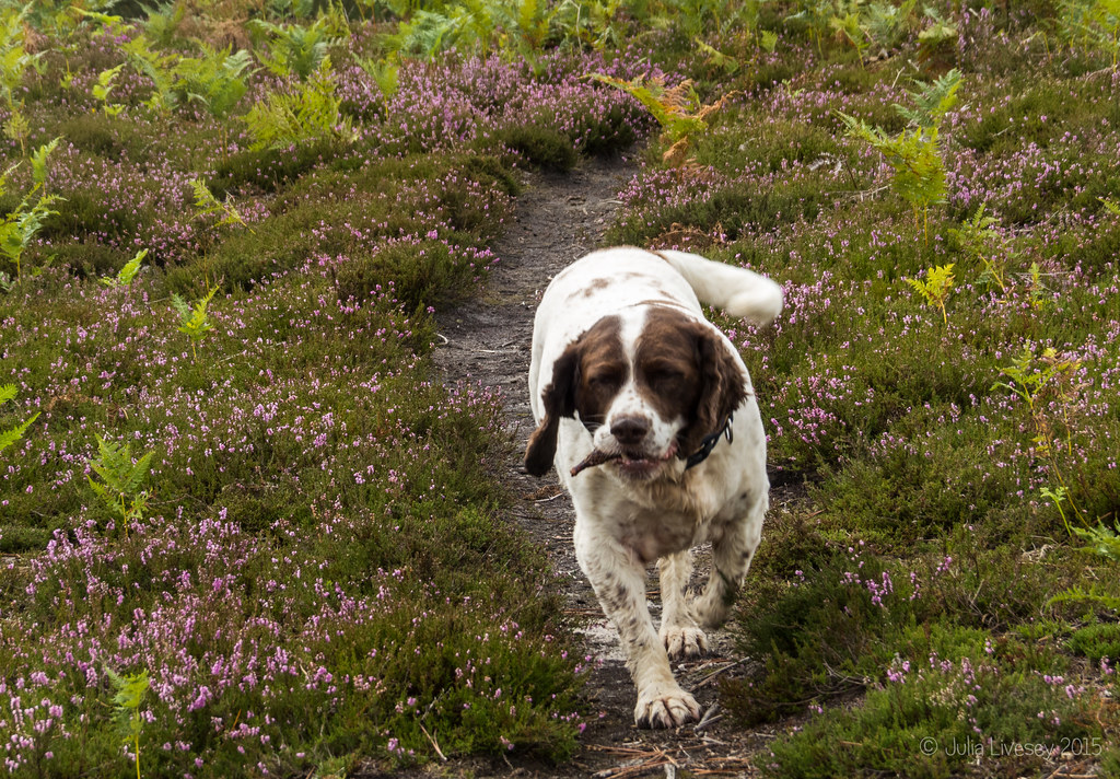 Trotting through the heather
