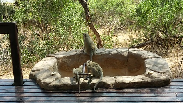 Baboons drinking water in front of our room