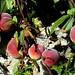 Peaches ...... by fleetingglances