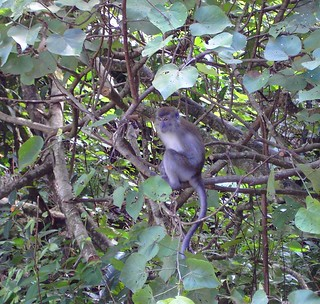 Kuching. Sarawak. Monkey in the jungle. Borneo at its best.