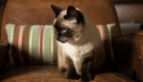cat-kidney-disease-vets