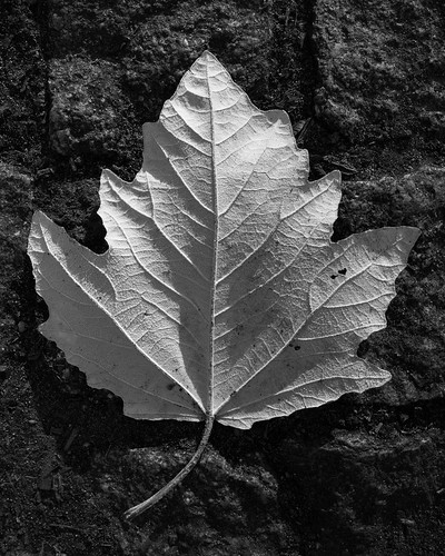 Leaf of Absence | by thephohemian