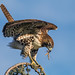 Red-tailed Hawk (j) by E_Rick1502