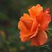 A Rose in the Tropics - Kula, Maui by Barra1man