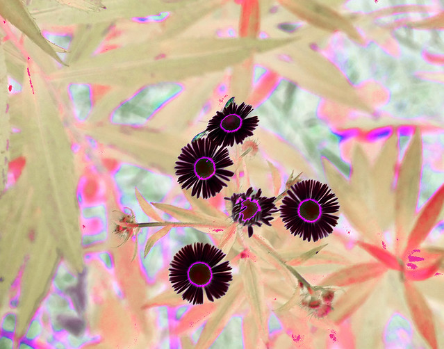 maroon flowers, Fujifilm XF1