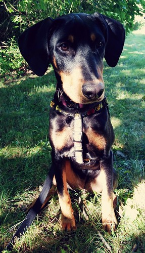 doberman puppy mix