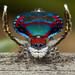 _X8A3294 peacock spider Maratus caeruleus by Jurgen Otto