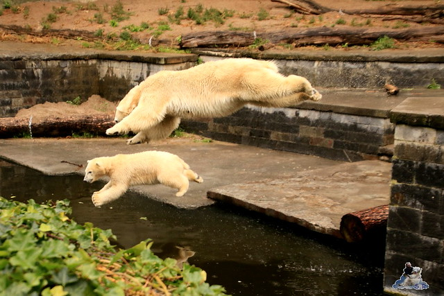 Eisbär Fiete im Zoo Rostock 05.09.2015  024