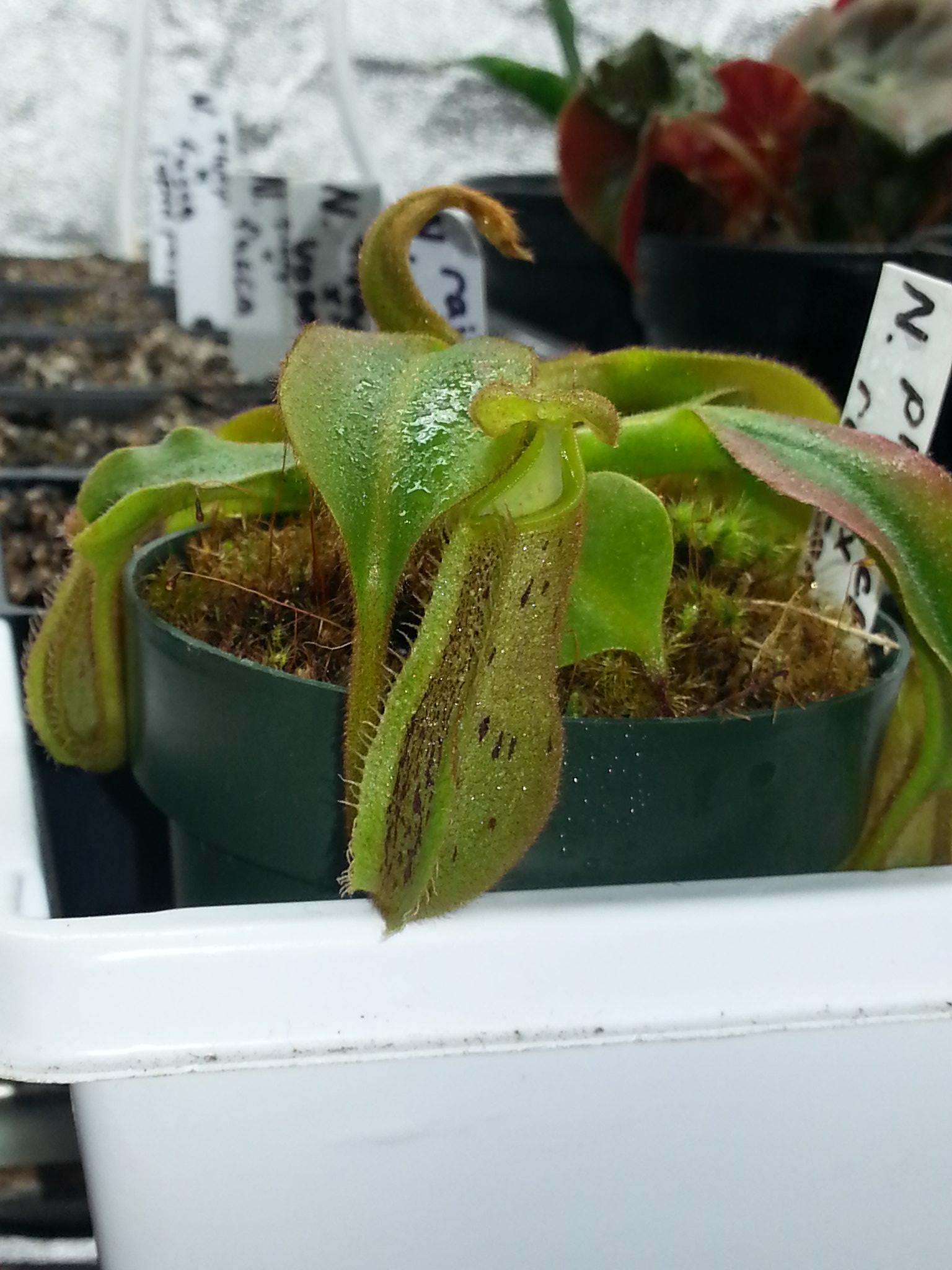 N. platychila x robcantlyi