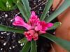 hyacinthus pink DSC01519