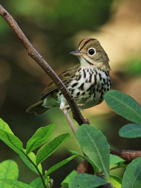 Ovenbird 3-20151007