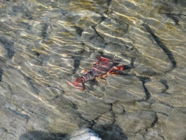 Cangrejo de río en el embalse de Abegondo-Cecebre