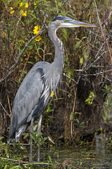 Great Blue Heron DE SEP JG1A7113