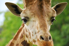 Giraffa camelopardalis reticulata DT [ES Zoo Madrid] (3)